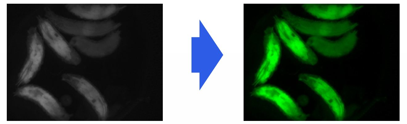 Increased resolution by applying PSEUDO COLOR function when observing fluorescence image.
